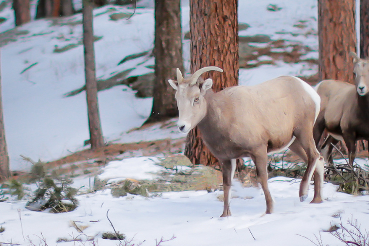 bighorn sheep wedding in estes park